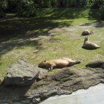 Die Capybaras wissen wie man die Sonne genießt. Kölner Zoo.