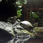 Schildkröten im Kölner Zoo.