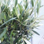 Lorenzo, der Olivenbaum. Der neue Mitbewohner auf meiner Terrasse.